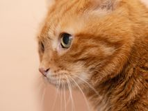 Lovely red cat. Soft focus royalty free stock images