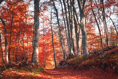 Lovely red color autumn season forest path Stock Photos