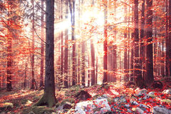 Lovely red colored autumn forest landscape Stock Photography