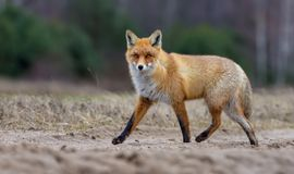 Lovely Red fox with dense fur runs through field way while looking toward royalty free stock photo