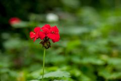 A lovely red geranium flower in its natural setting.  stock image