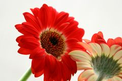 Lovely red Gerbera Stock Photography