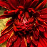 Lovely Red Golden. Beauty Red Flower Stock Photography