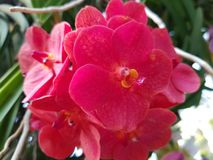 Red orchids royalty free stock images
