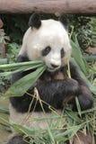 Lovely red panda, endangered animal, China Stock Photography