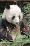 Lovely red panda, endangered animal, China Stock Photo