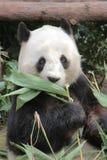 Lovely red panda, endangered animal, China Royalty Free Stock Photo