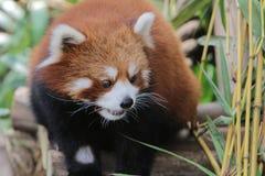 Lovely red panda, endangered animal, China Royalty Free Stock Image