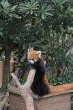 Lovely red panda, endangered animal, China Stock Images