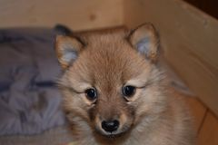 The lovely red puppy of breed the Finnish spitz stock images