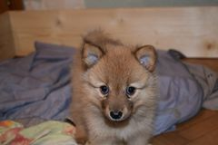 The lovely red puppy of breed the Finnish spitz royalty free stock image