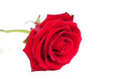 Lovely red rose Royalty Free Stock Photo
