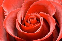 Lovely red rose Stock Photos