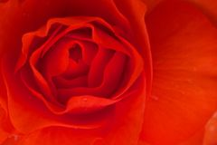 Lovely red rose Royalty Free Stock Photos