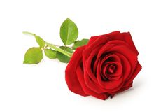 Lovely red rose Rosaceae isolated on white background, inclusive clipping path. Beautiful red rose Rosaceae isolated on white background, inclusive clipping Stock Photography