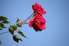 Lovely red roses with sky Background. It is a close up of lovely red roses which represent love, Harmony and peace stock photography