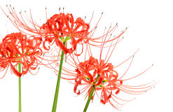 Lovely red spider lily flowers, known scientifically as Lycoris radiata, isolated on white background Royalty Free Stock Photography