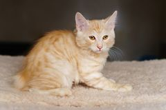 Lovely red thoroughbred kitten. Lovely thoroughbred redhead kitten. Breed Kurilian Bobtail. Hypoallergenic breed of cats stock images