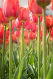 Lovely red tulips in green foliage Stock Photo