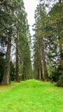 A lovely Redwood Avenue surrounded by tall trees in Benmore Botanic Garden,, Scotland. A lovely Redwood Avenue surrounded by tall trees in Benmore Botanic Garden royalty free stock photos