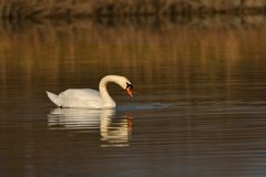 Lovely Reflection in water of swimming white swan on the water lake. Reflection in water of swimming beauty white swan on the lake Stock Photos