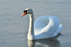 Lovely Reflection in water of swimming white swan on the water lake. Reflection in water of swimming beauty white swan on the lake Stock Photography
