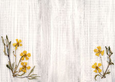 Lovely Rock Rose Dried Yellow Flowers on Shabby Chic Rustic White Wood Board with room or space for copy, text, or words Stock Photos