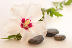 A Lovely Rose of Sharon Blossom in Light Royalty Free Stock Photos