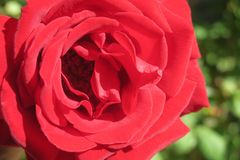 Lovely Rose. When you growing lovely roses, you love to watch every day and enjoy it Royalty Free Stock Images