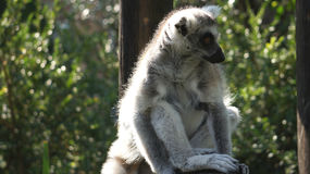 Lovely round-tailed lemur is sitting on a tree.. A cute round-tailed lemur sits on a tree, South Africa Stock Photography
