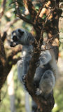 Lovely round-tailed lemur is sitting on a tree.. A cute round-tailed lemur sits on a tree, South Africa Royalty Free Stock Images