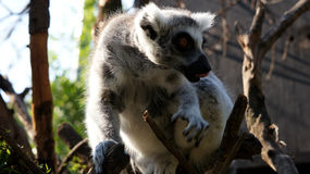 Lovely round-tailed lemur is sitting on a tree.. A cute round-tailed lemur with tongue out sits on a tree, South Africa Royalty Free Stock Photos