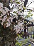 Lovely Sakura. Sakura in front of Japanese temple Stock Photo