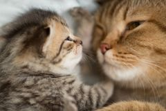Lovely cat mother and kitten have rest together face to face royalty free stock image