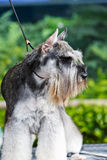 Lovely schnauzer Royalty Free Stock Photography