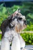 Lovely schnauzer Royalty Free Stock Photography