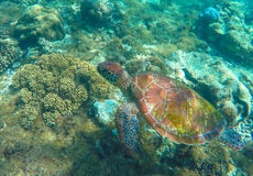 Lovely sea turtle closeup. Green turtle swimming in coral reef. Stock Image
