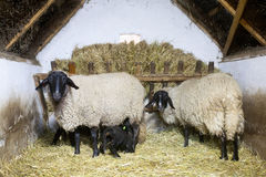 Lovely sheeps. Family in the barn Stock Photo
