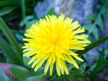 A lovely shot of a gorgeous yellow dandelion royalty free stock photos