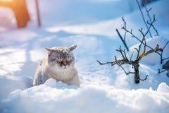 Cat walks in the deep snow in winter. Lovely Siamese cat walks in the deep snow in winter stock images
