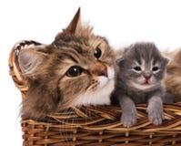 Lovely siberian cat Royalty Free Stock Photography