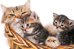Lovely siberian cat Stock Photos