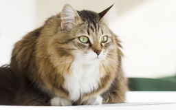 Lovely siberian cat outdoor. Brown white cat in the garden royalty free stock images