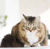 Lovely siberian cat outdoor. Brown white cat in the garden stock images