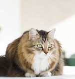 Lovely siberian cat outdoor. Brown white cat in the garden royalty free stock photo