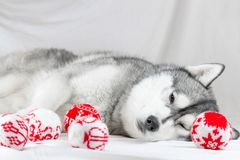 Lovely Siberian husky dog with black and white color with brown eyes Stock Image