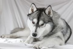 Lovely Siberian husky dog with black and white color with brown eyes Royalty Free Stock Photos
