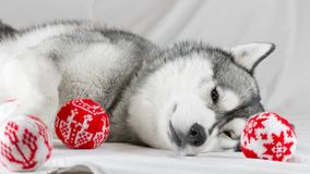 Lovely Siberian husky dog with black and white color with brown eyes Royalty Free Stock Photography