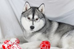 Lovely Siberian husky dog with black and white color with brown eyes Royalty Free Stock Photo