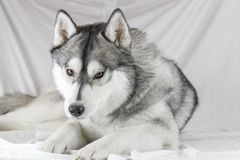 Lovely Siberian husky dog with black and white color with brown eyes Royalty Free Stock Image